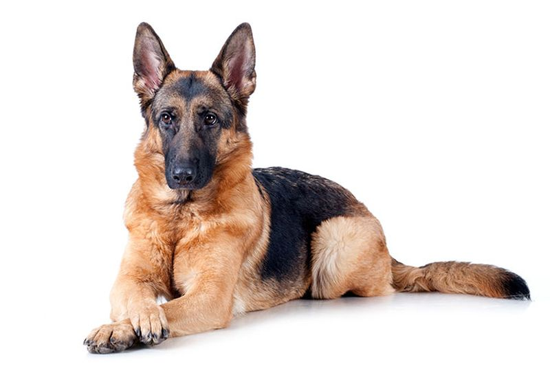 Most Popular Dog Breeds for Home in India