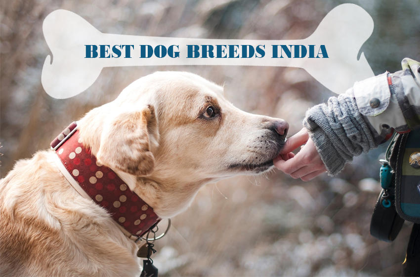 best dog breeds for home in india